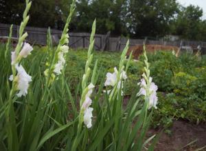 Как подготовить почву для посадки гладиолусов