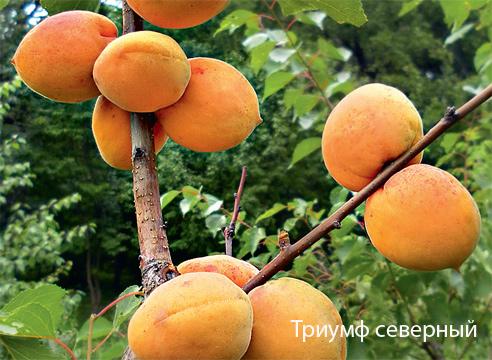 абрикос иркутский зимостойкий описание сорта любовь должны