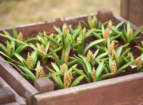 Как вырастить из семян гиацинт