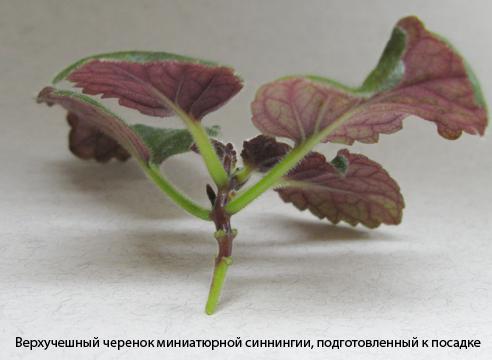 минисинингии уход и размножение