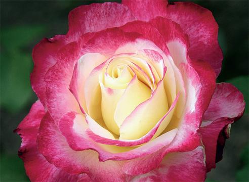 розы фото и названия сортов