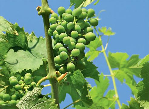 Как сажать виноград в сентябре 144
