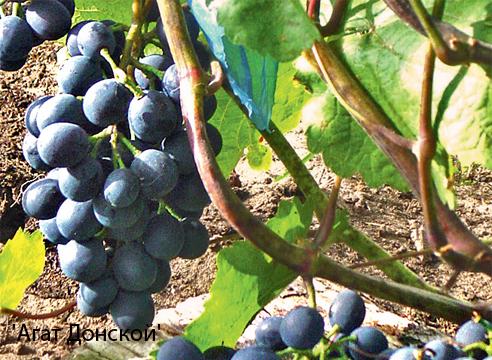 Лучшие сорта винограда для вина описания советы по посадке и уходу