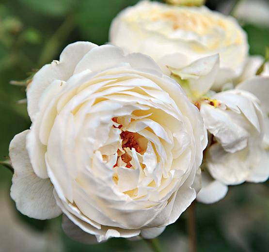 Фото розы дэвида остина