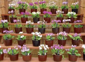 Примулы Зибольда японской селекции: как выращивать