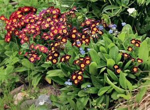 Примулы: натурализация в саду
