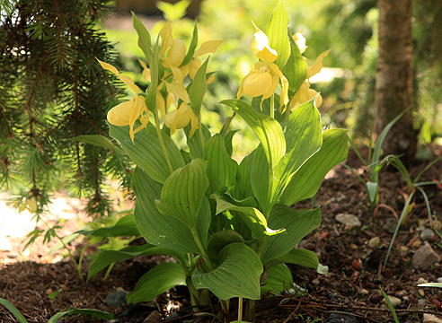 Орхидея венерин башмачок купить в новосибирске