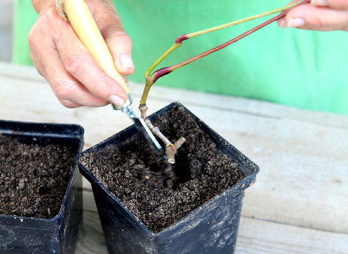 как размножить дикий виноград черенками осенью