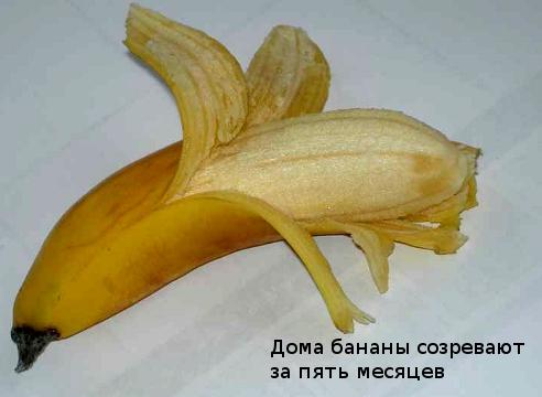 Банан: как получить урожай в комнатных условиях