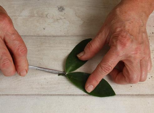 Размножение замиокулькаса черенкованием. Отделяем листочки с черешком.