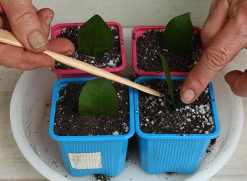 Размножение замиокулькаса черенкованием. Посадка листочков.