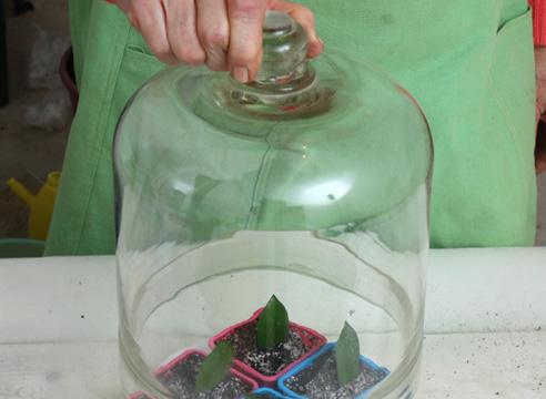 Размножение замиокулькаса черенкованием. Укоренение в тепличке.
