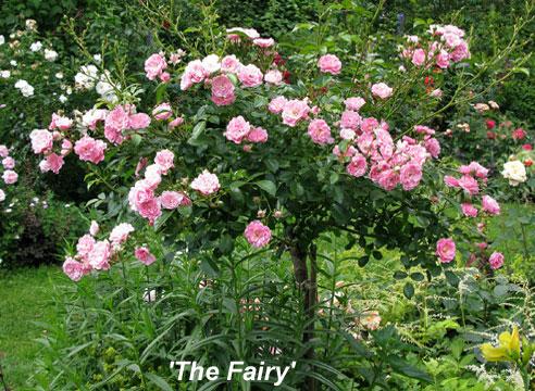 Роза The Fairy в штамбовой форме
