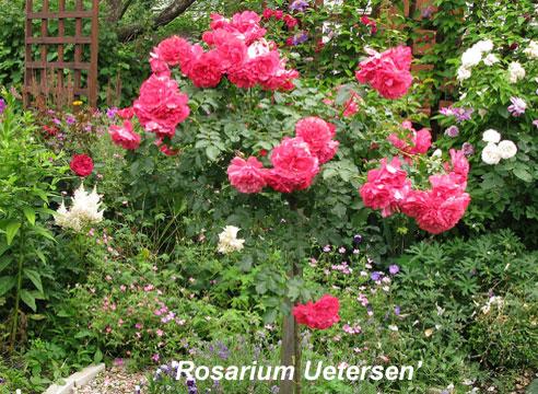 Штамбовая роза Rosarium Uetersen