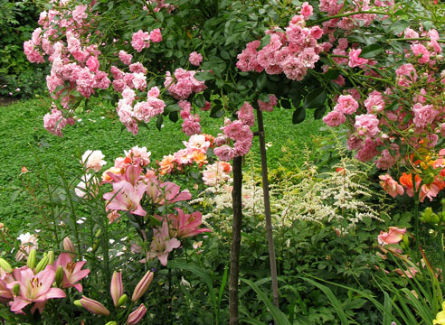 Штамбовая роза The Fairy и лилейник