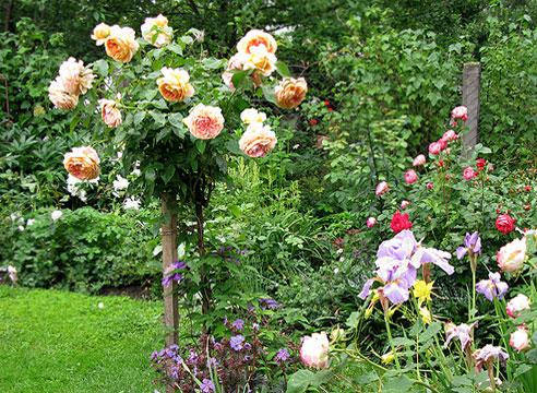 Штамбовые розы. Чайно-гибридная роза Caramel Antike Freelander