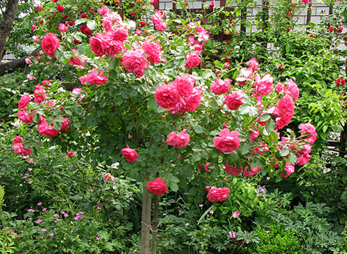Штамбовые розы. Плетистая роза Rosarium Uetersen.