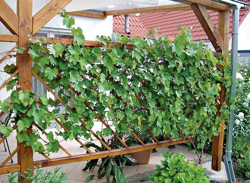 Виноградный экран рядом с патио в Аугсбурге, Германия