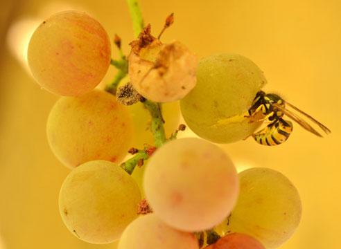 Оса на винограде