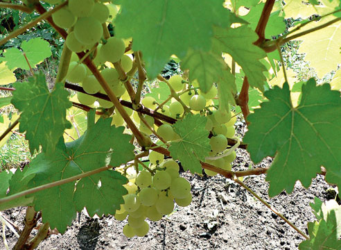 Сорта винограда, виноград Циравас Аграа