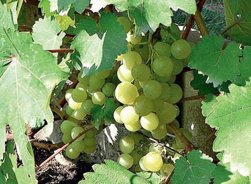 Сорта винограда, виноград Лиепаяс Дзинтарс