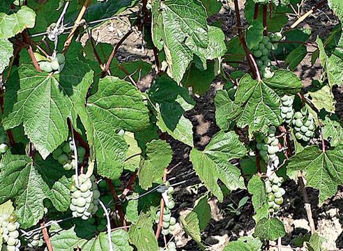 Сорта винограда, виноград Олеся Дальневосточная