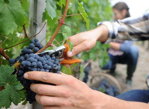 Прореживание винограда для нормирования урожая