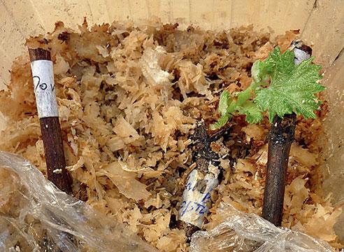 Укоренение черенков винограда в наполнителе
