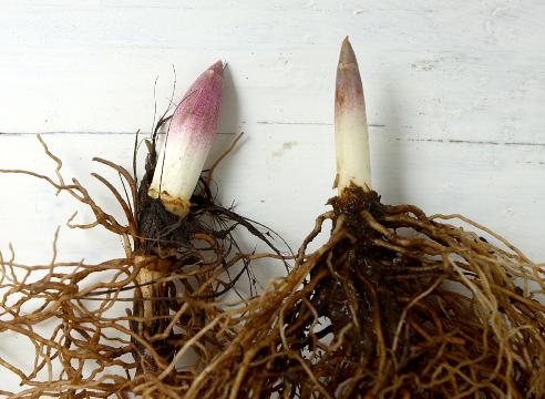 выгонка ландышей в домашних условиях, цветочная и вегетативная почки