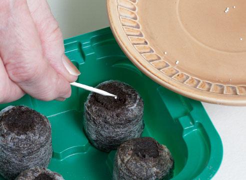 петуния, посев в торфяные таблетки дражированными семенами