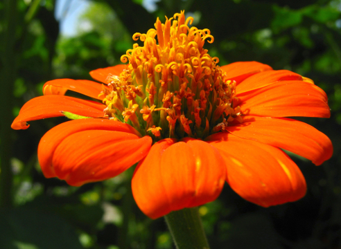 Tithonia rotundifoliа