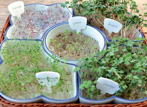 проростки; проращивание семян в гидрогеле