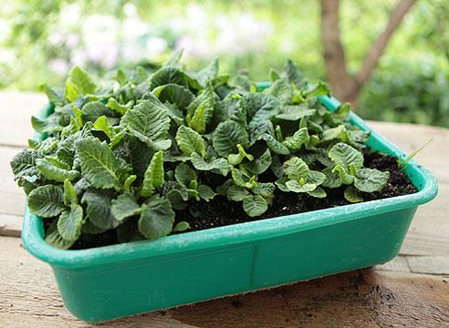 Как вырастить рассаду примулы в домашних условиях