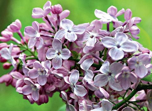 Сорта сирени. Сирень гиацинтоцветная Blue Hyacinth