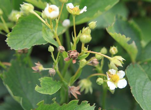 Цветки клубники, поврежденные долгоносиком