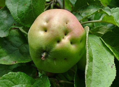 Яблоко, поврежденное кащаркой