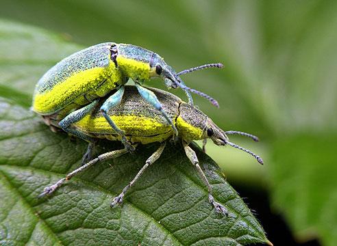 Долгоносик зеленый листовой