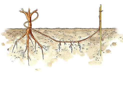 Огибание лозы винограда вокруг ствола