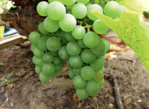 Отводок винограда плодоносит уже через год