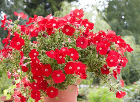 петуния, посадка и уход, цветение в контейнере