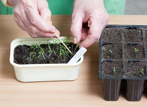 петуния, выращивание рассады, пикировка сеянцев