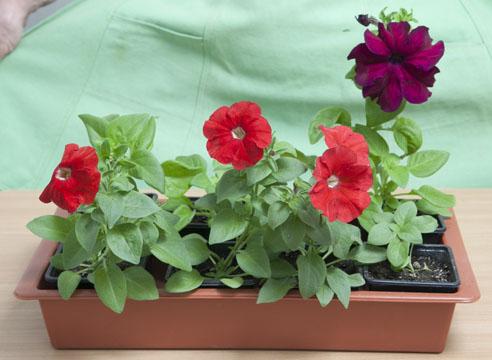 петуния, выращивание рассады, готовые к высадке растения