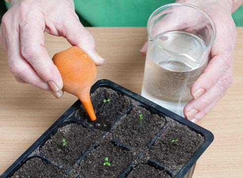 петуния, выращивание рассады, полив сеянцев после пикировки