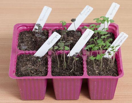 базилик, выращивание и уход, всходы рассады