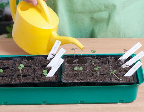 базилик, выращивание и уход, полив рассады