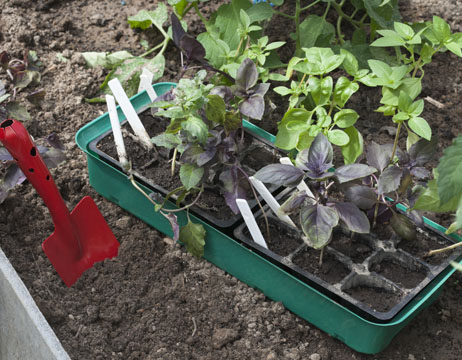 basil, growing and care, ready to plant seedlings