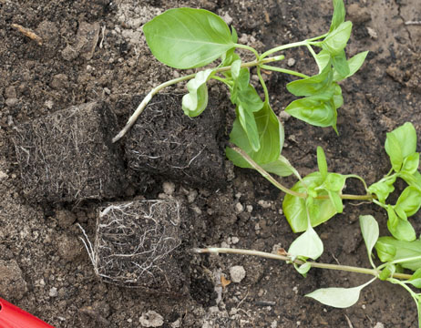 basil, growing and care, planting seedlings with a lump