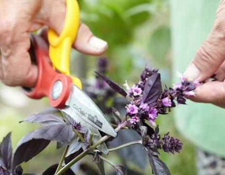 базилик, выращивание и уход, обрезка соцветий