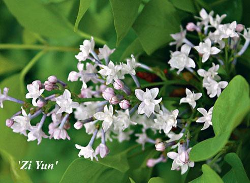 Сирень гиацинтоцветная Zi Yun