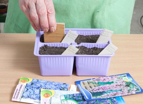 выращивание дельфиниума из семян, заделывание семян почвой